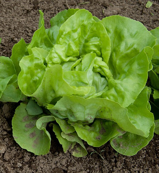 Lettuce_Mini_Heads_(7331119710).jpg
