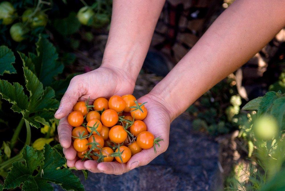 TomatoHands.jpg