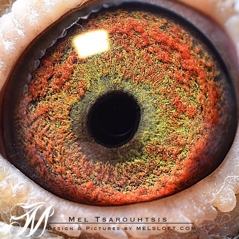 eye of 54 cock.jpg