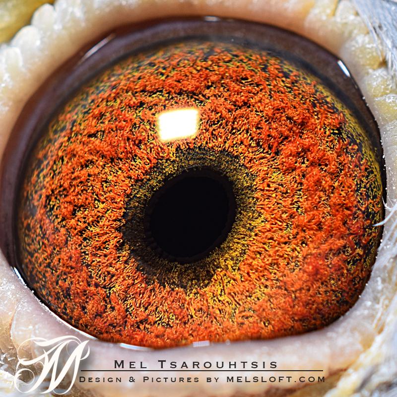 eye of 78 hen breeder.jpg