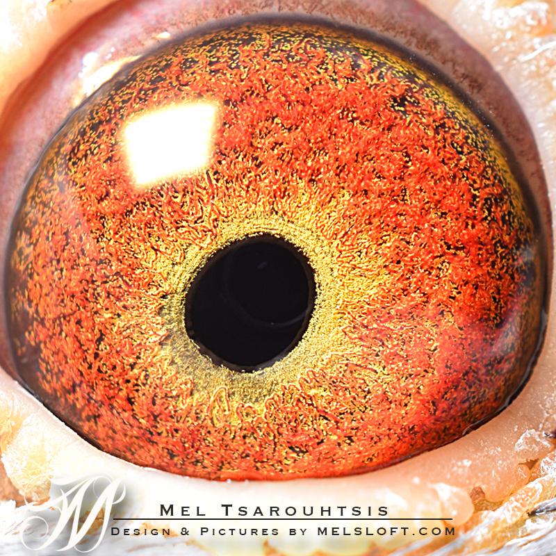leps butterball eye.jpg