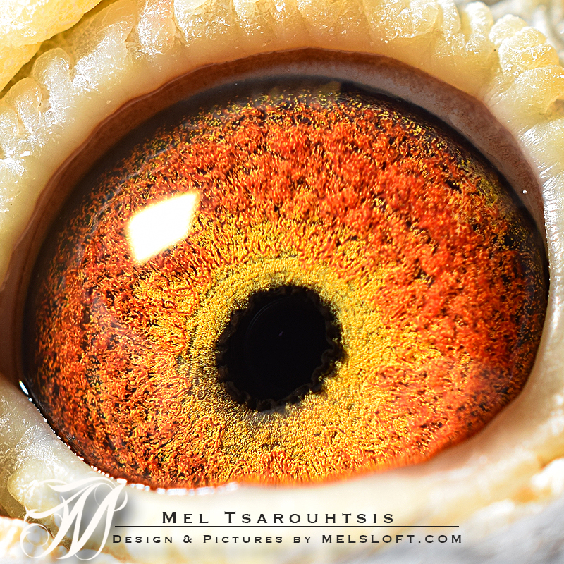leps pot eye.jpg