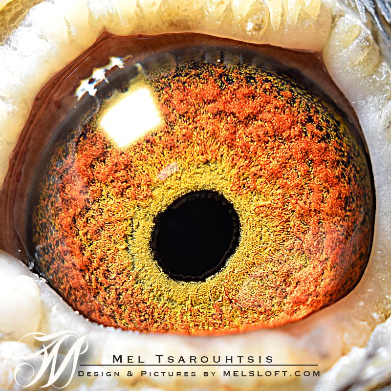 eye of Adonis.jpg