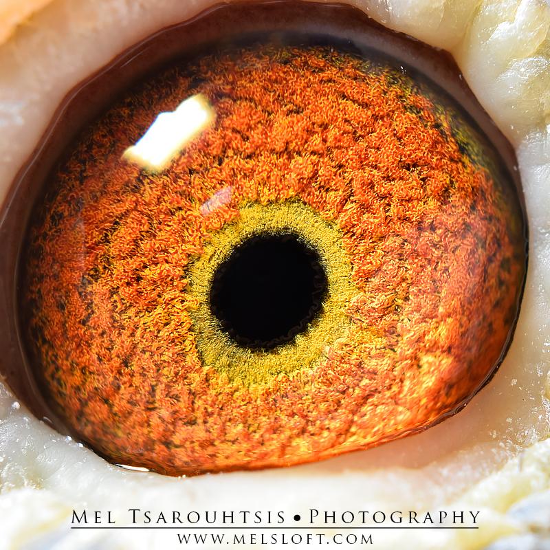 eye of famous leps blaze.jpg