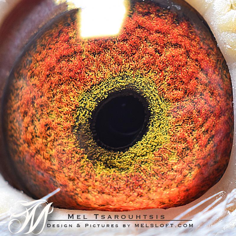 eye of leps magna 2.jpg