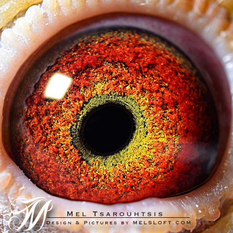 eye of sir jos.jpg