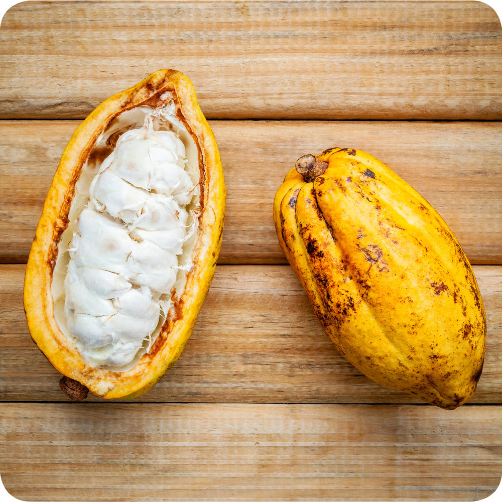 Theobroma cacao  seeds, the left seed showing cocoa beans within.