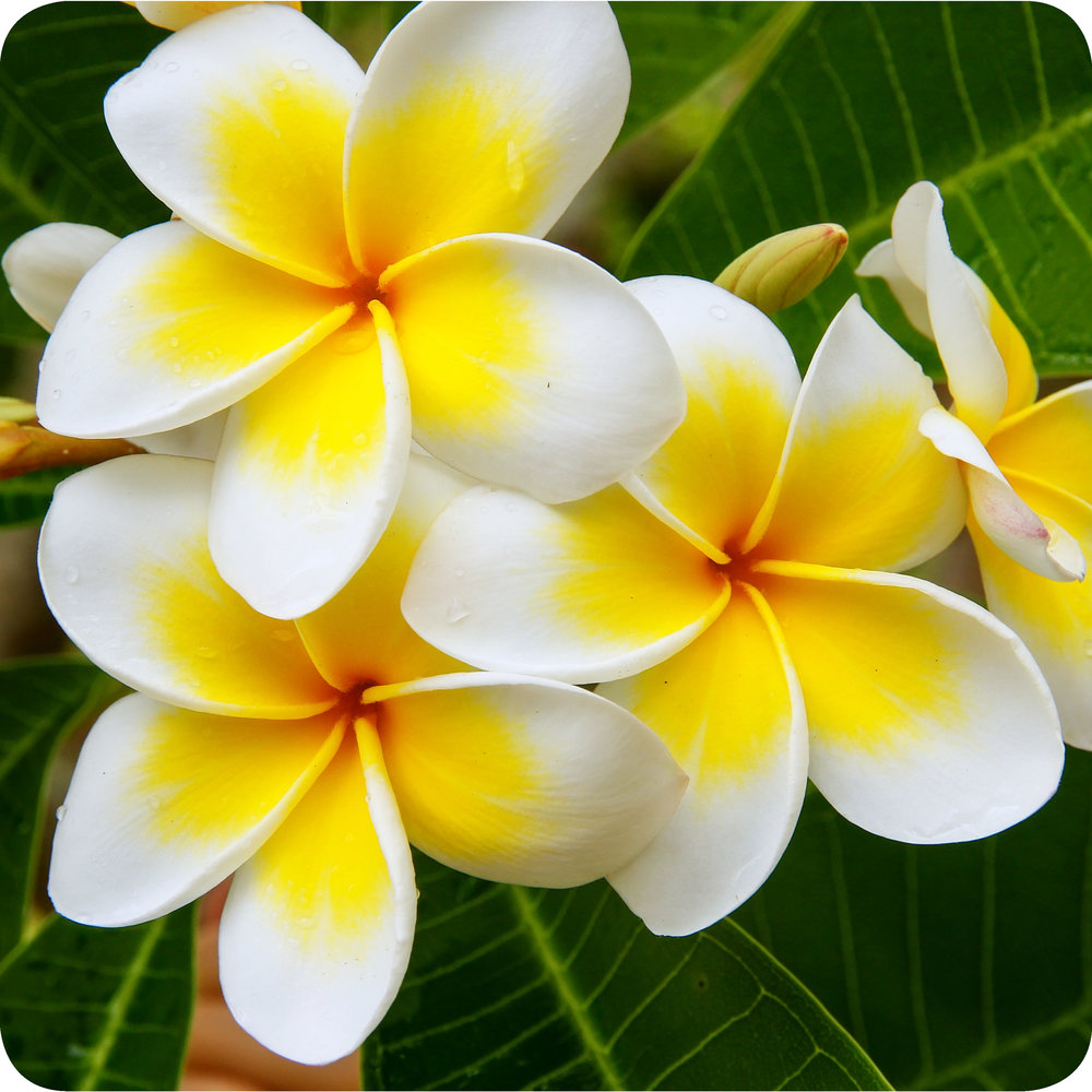 The flowers of the Plumeria tree.