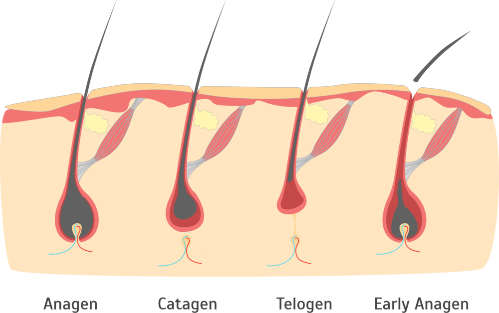 The four cycles of hair growth. Click image to enlarge.