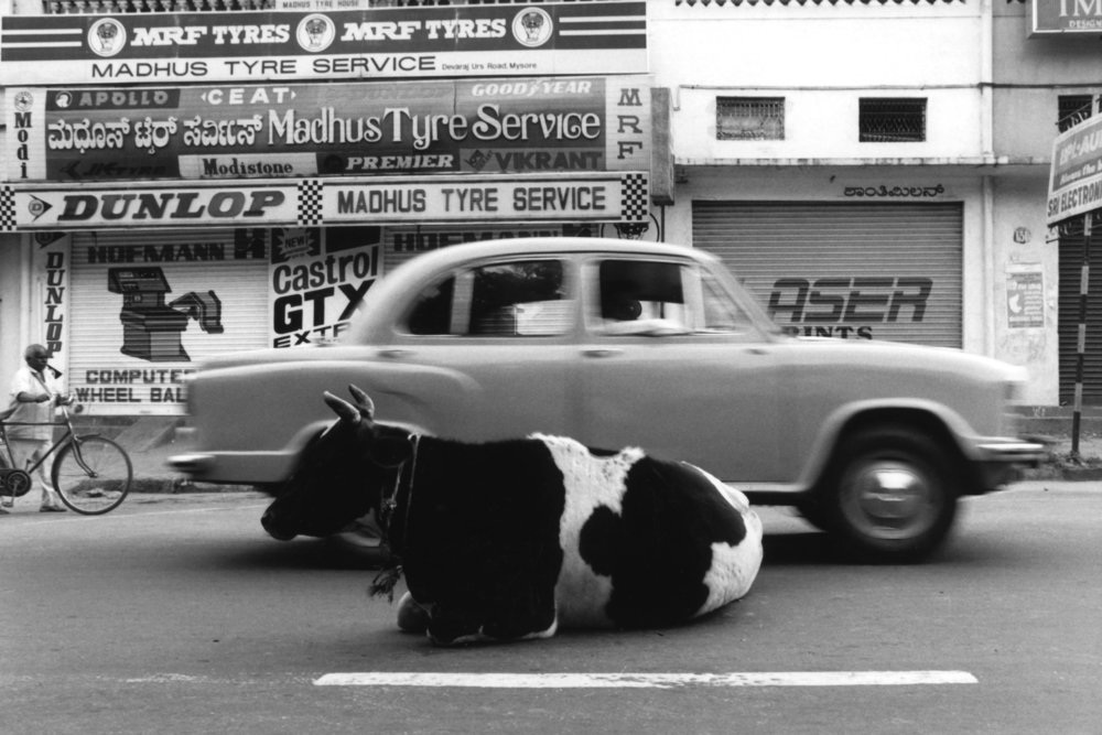 Cow in Front of Car.jpg