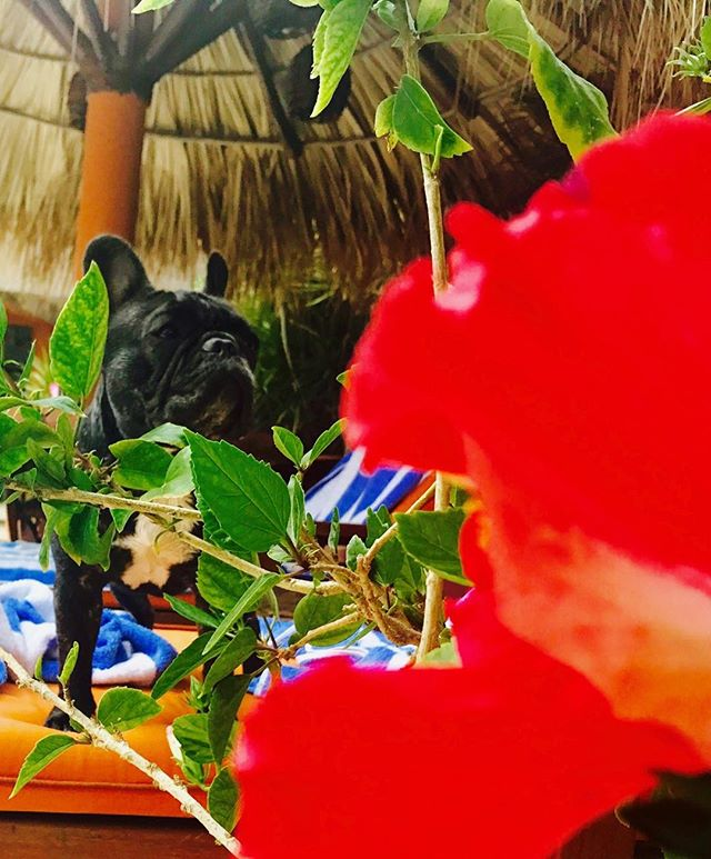 SweetP loves hibiscus 🌺