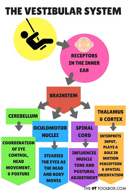 the vestibular system - shegotguts.com