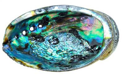 abalone-shell-24.jpg