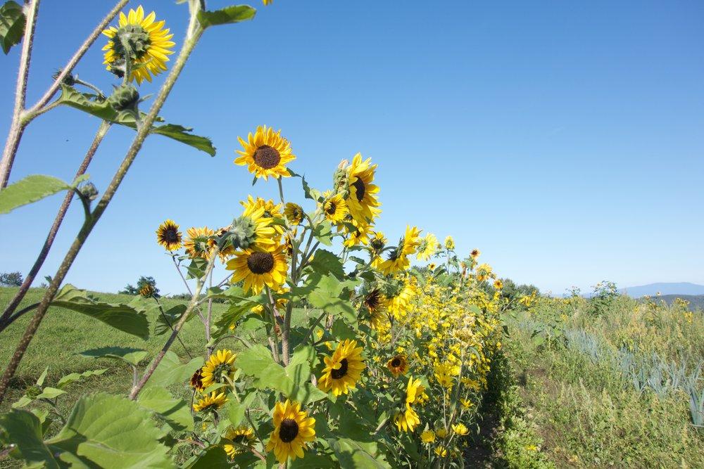 Sunflowers on Garden Hill; Ariane Desrosiers; Milton Academy