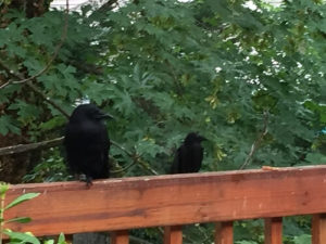 julie'scrows3(1)