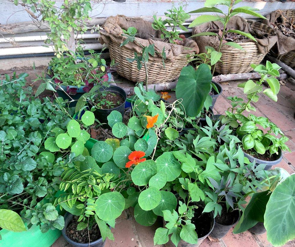 A selection of some edible perennials growing on our terrace garden - Nasturtium, Sweet potato, Multivitamin, Basil, Rosella, Tree Spinach, Ajwain, Talinum, Arugula and Colocasia