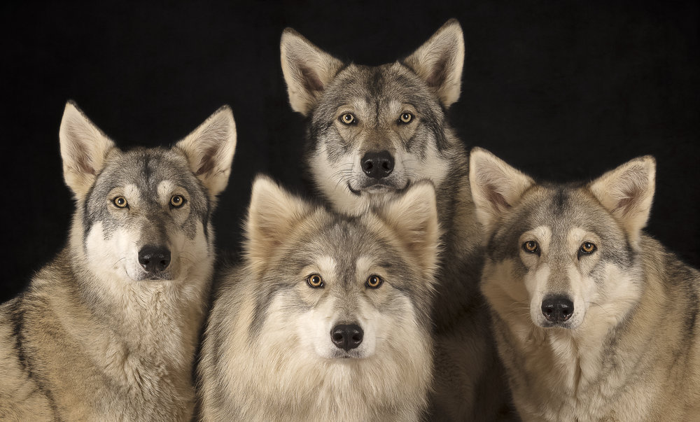Watermill Wolves Head Shots