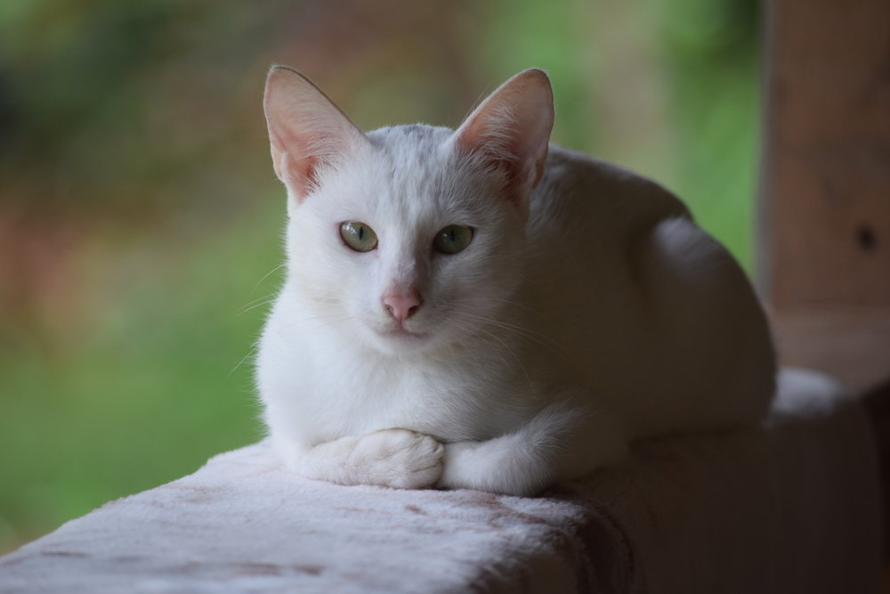 My beautiful pet cat in the Philippines, Beauty.