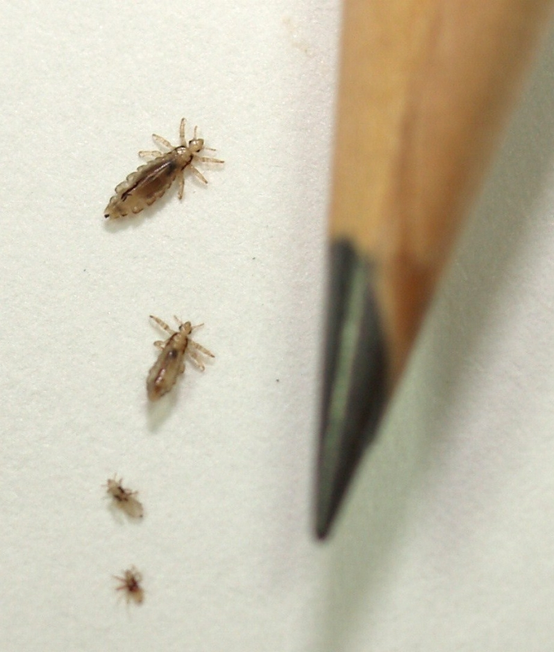 Is it lice? - As you can see in the photo to the left, lice are very small at all stages of their lives. Our technicians can help you identify lice or nits.  They are also able to estimate how long lice have been present, helping you determine when and where they may have been introduced.Visit us for a head check!  We'll happily explain the process and show you exactly what to look for.