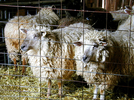 Leichester Longwool Sheep