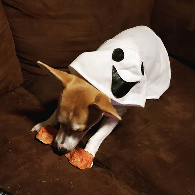 I'll be a good little ghost and do a trick if you give me a treat! 👻 Happy Halloween 🎃 . . . #halloween #boo #happyhalloween #ghostpuppy #trickortreat #ghostadventures #jackrussellpuppy #jackrussellterrier #jackrussell #puppymodel #puppysnuggles #puppiesofinstagram #puppyoftheday #dogworld #dogsofinstagram #dogoftheday #snuggledup #sponsorme #ambassadorsearch #affiliate #sponsor #naptime #newyork #hudsonvalley
