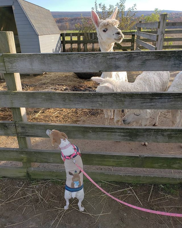Met some donkeys, llamas, goats, and cows today on our adventures today! 🐶 . . . #jackrussellpuppy #jackrussellterrier #jackrussell #puppymodel #puppysnuggles #puppiesofinstagram #puppyoftheday #dogworld #dogsofinstagram #dogoftheday #sweaterweather #sponsorme #ambassadorsearch #affiliate #sponsor #newyork #hudsonvalley #adventure