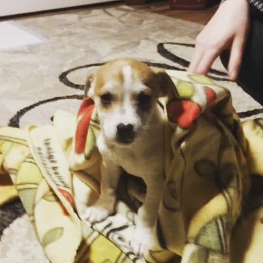 Flashback Friday! Back when mommy and daddy first brought me home! Also today happens to also be my 1st BIRTHDAY!!! @kaileeholbert  @carlton75  I'm not sure what but I know they have something planned for me.  #fbf #puppyoftheday  #pupsofinstagram #ny #birthday  #sorrynotsorry