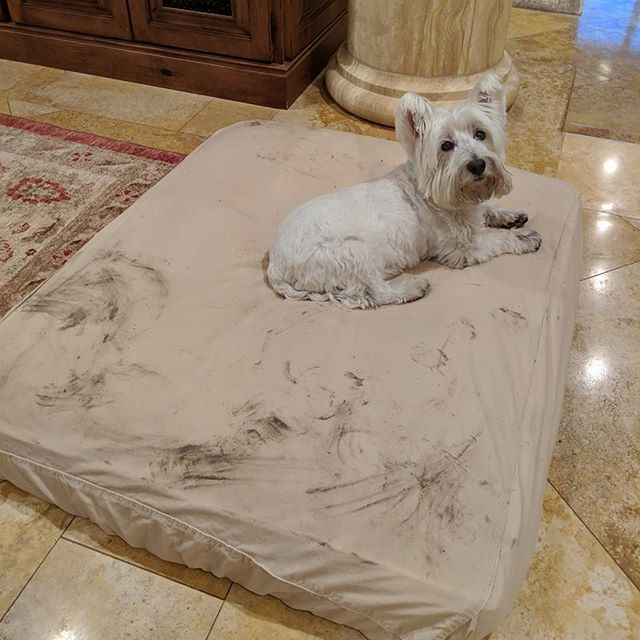 "This is exactly why we make fitted linens! A happy customer sent us this pic saying ""thank God for your washable fitted linens"". Her adorable #pigpen Westy named Chester looks very satisfied with the mess he's made 😍"
