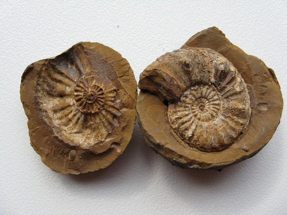 ammonites-1312298_1920.jpg