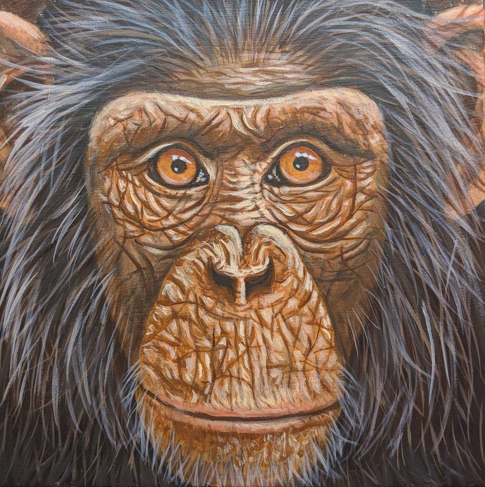 "Pan troglodytes  Chimpanzee Acrylic on 12""x12"" canvas"