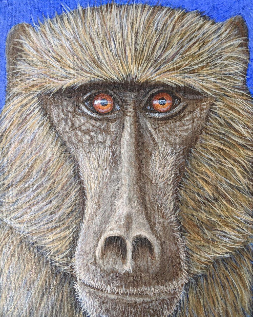 "Papio ursinus  Chacma baboon Acrylic on 11""x14 canvas"