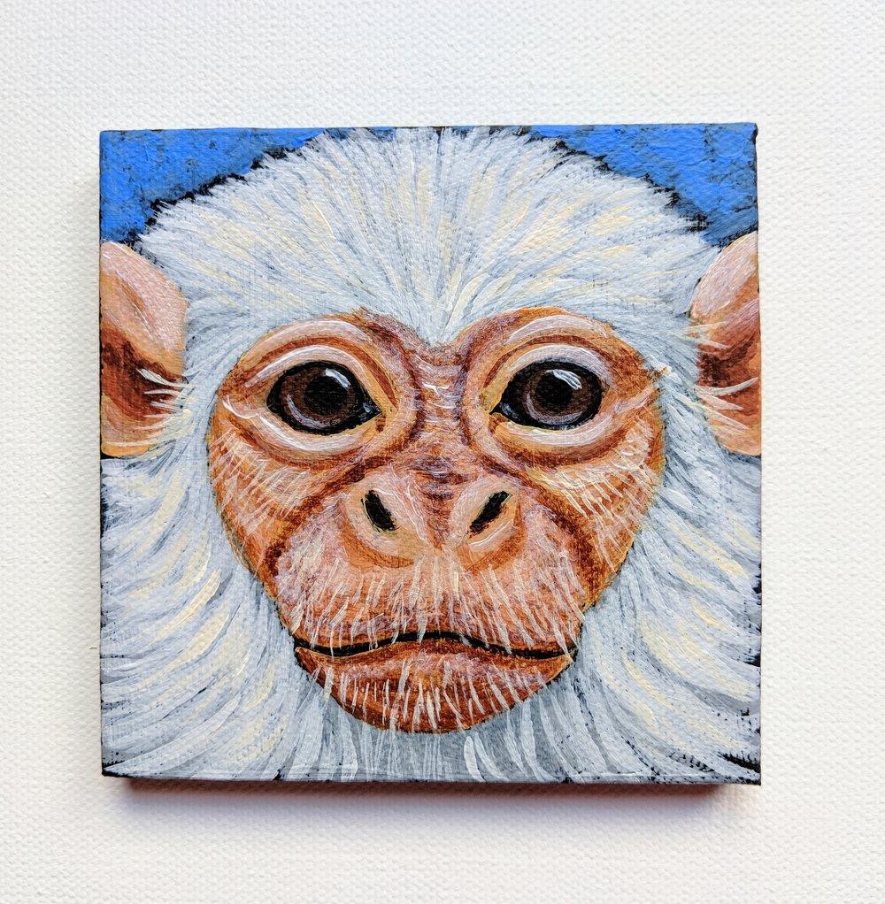 "Mico argentatus  Silvery Marmoset Acrylic on 4""x4"" canvas"