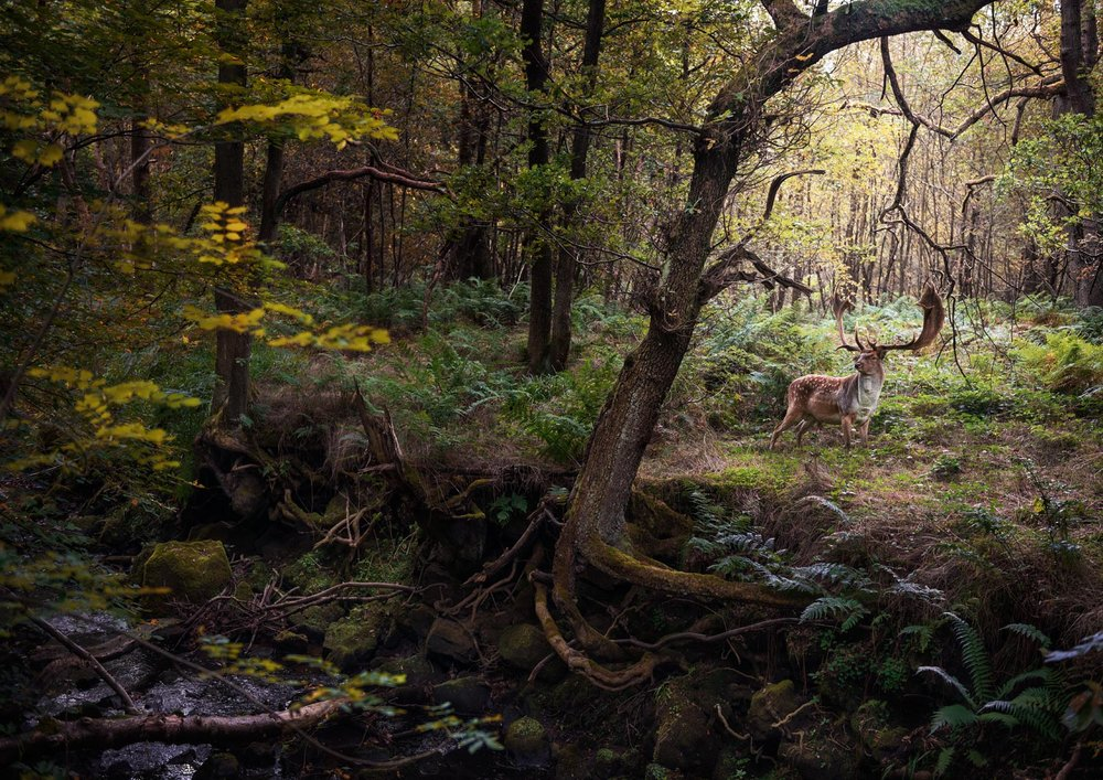 Deer by Stream