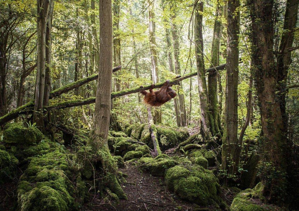 Orangutan Climbing