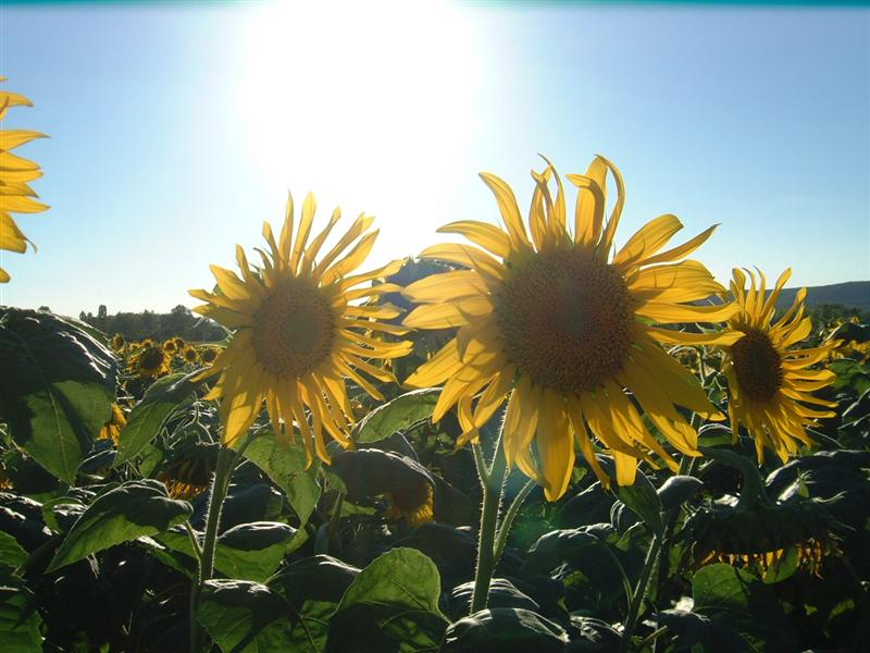 Sunflowers-in-France-Medium.jpg