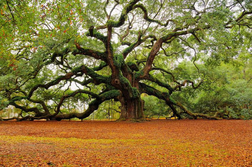 angel-oak-tree-l.jpg