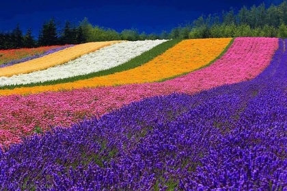 Spring_Rainbow_Field_of_Flowerse21cfb.jpg