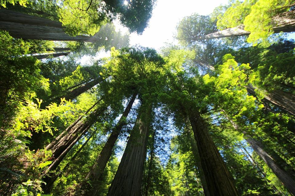 sequoia-274158_960_720.jpg