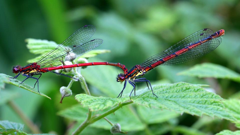 dragonflies-1431304_960_720.jpg