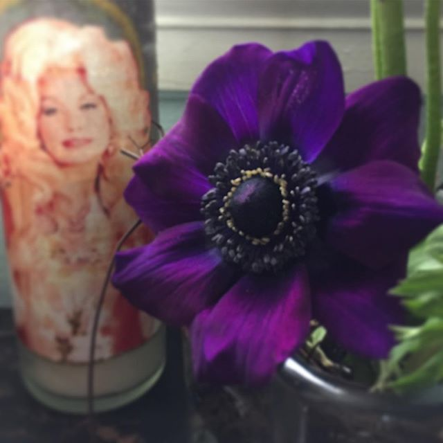 Going into the weekend singing 🎼 You're beauty is beyond compare.. #anemone #dollyparton #shealwaysgetsflowers