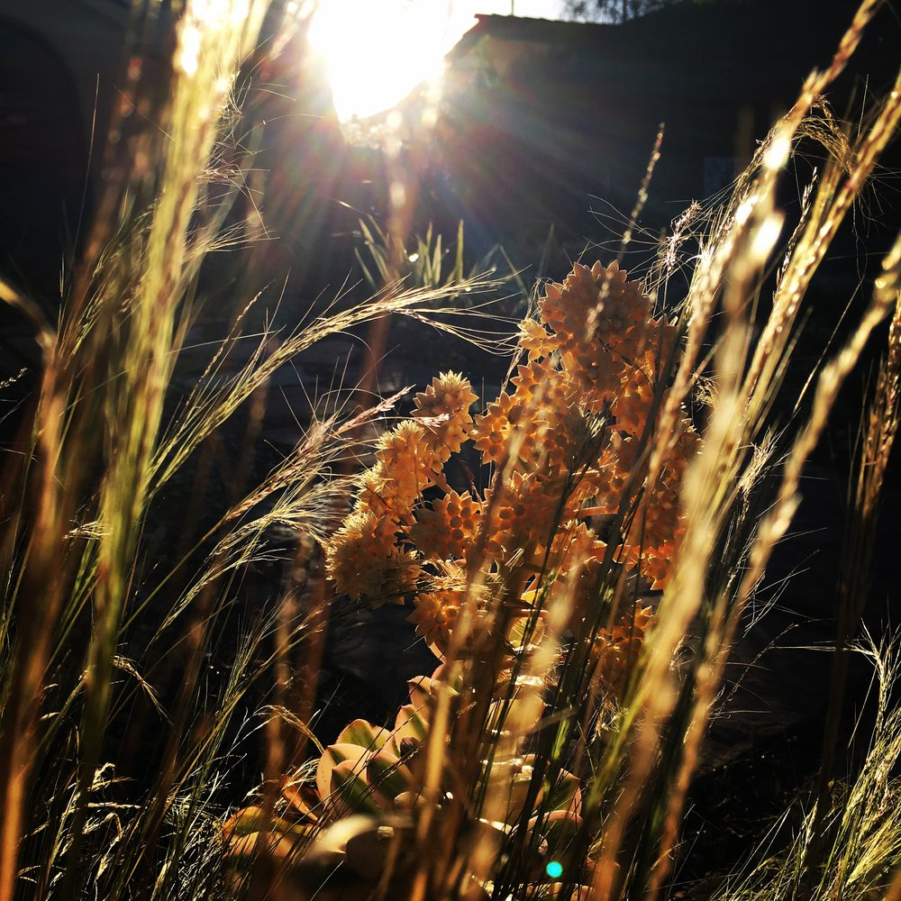 Alt-Text: Sunlight shining through grasses and flowers at sunrise.