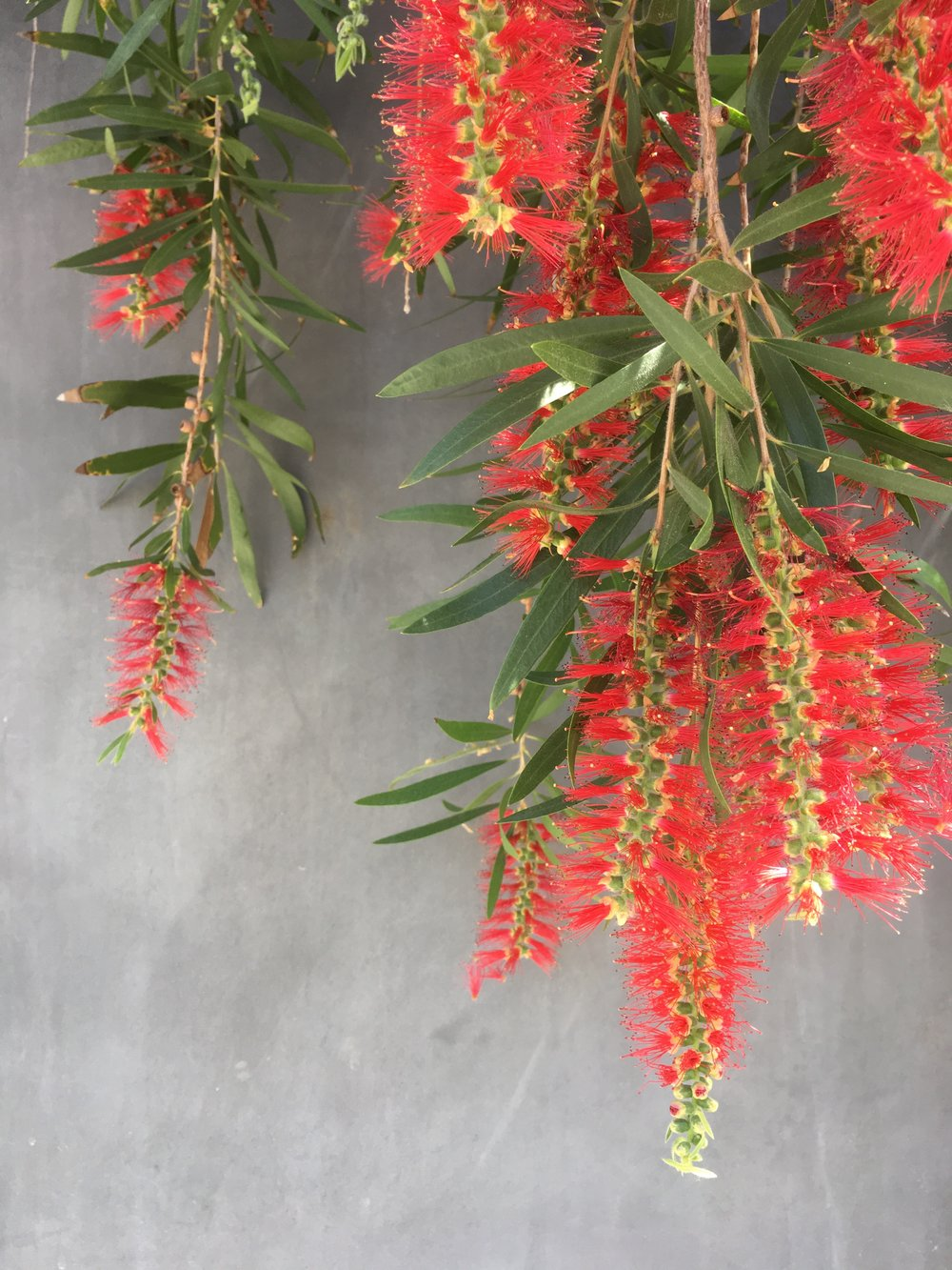 Alt-Text: six bottle brush tree flowers and leaves dangling in front of a gray wall