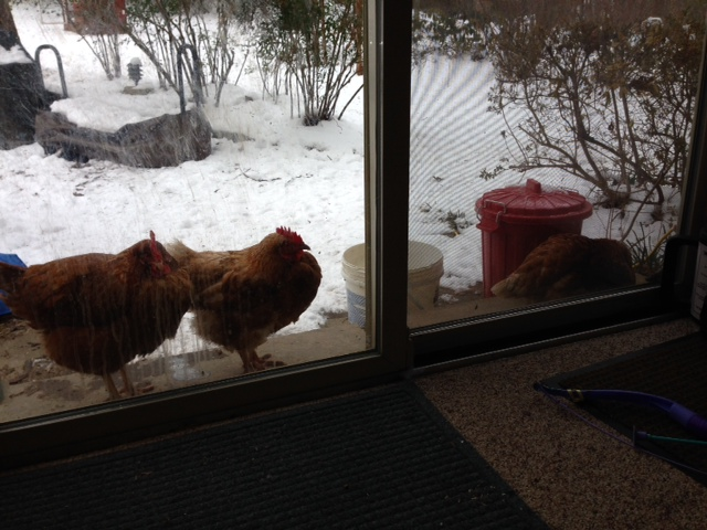 Chickens want to come inside.jpg