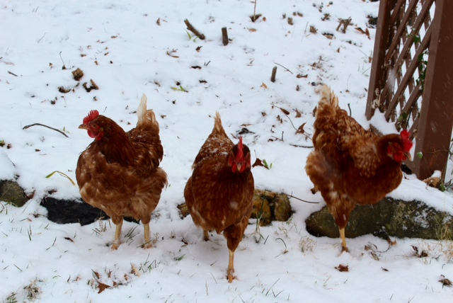 Molly C's chickens in snow.jpeg