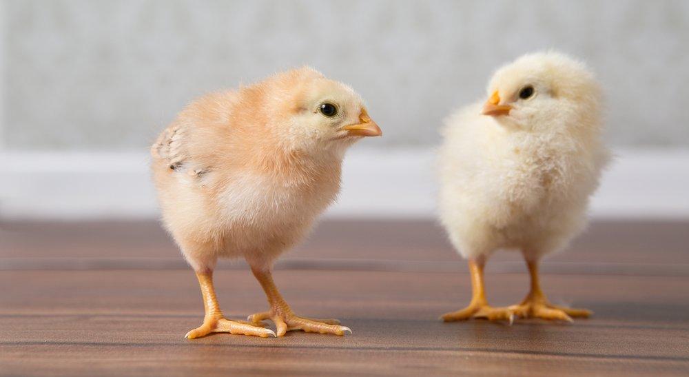RentACoop chicks