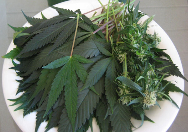 Cannabis-The-Most-Important-Vegetable-on-the-Planet.jpg