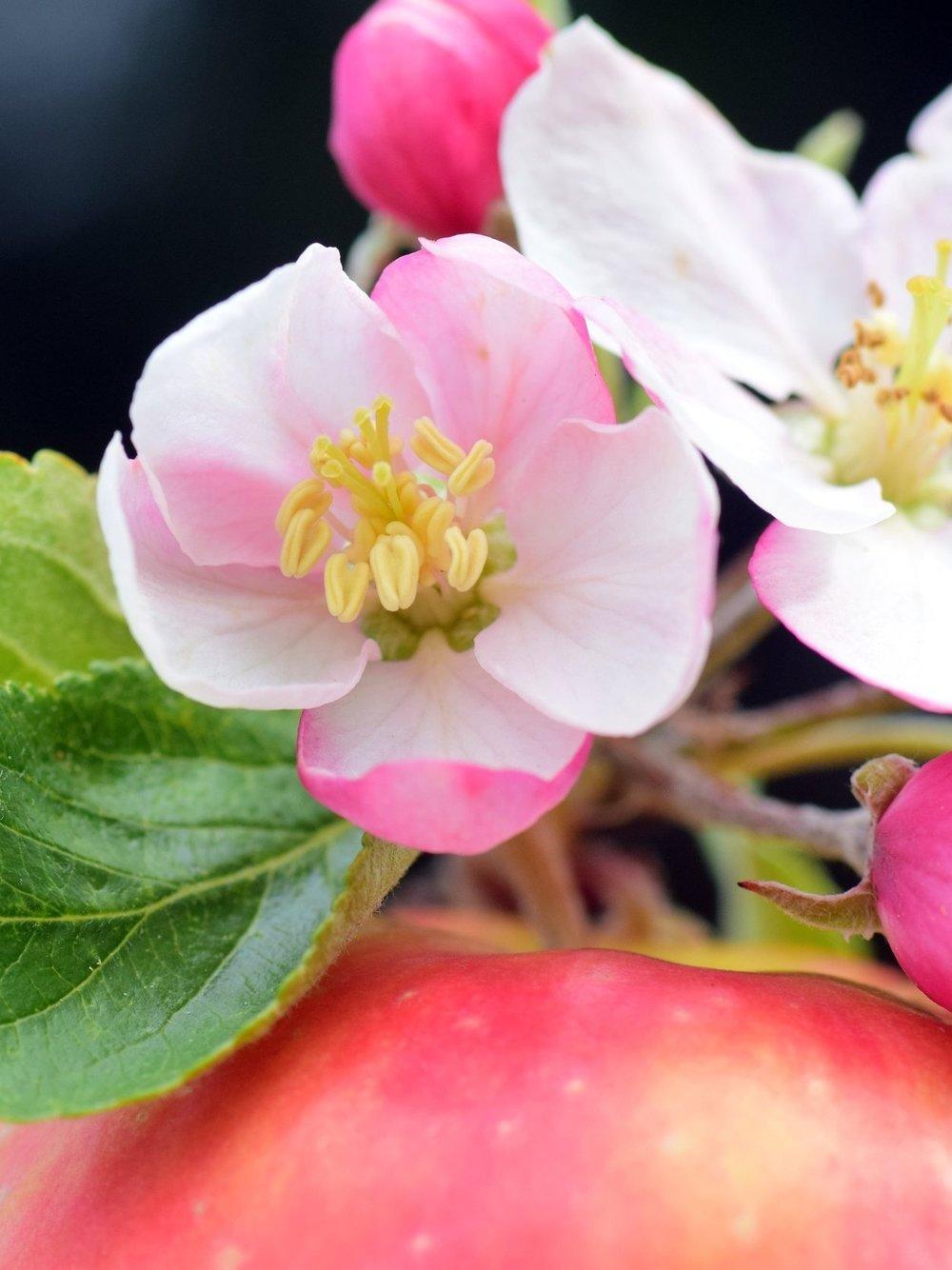 apple-2274007.jpg