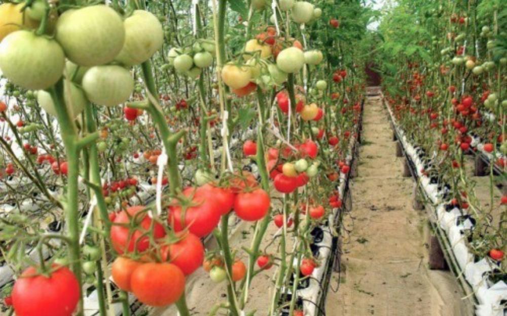 Vườn cà chua trĩu quả khiến các bà nôi trợ mê mẩn (Ảnh: The Express Tribune)