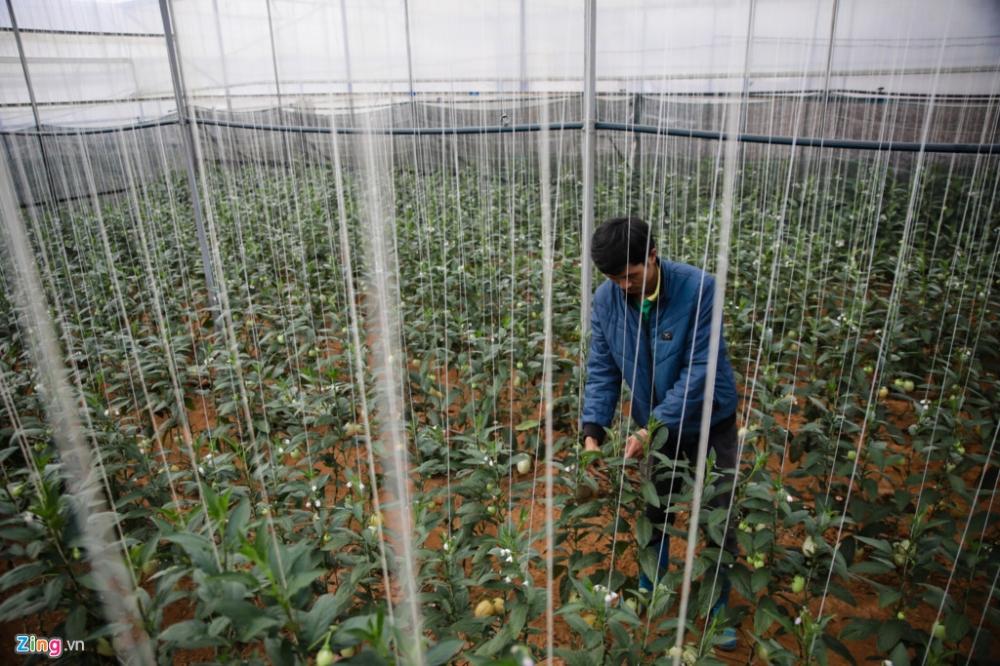 Dưa được trồng trên luống cao khoảng 20 cm, khi trưởng thành vươn lên tới 2 m. Năng suất thu hoạch bình quân đều đặn trong khoảng 130 kg/ngày. Hiện giá dưa được thương lái thu tại vườn dao động 50.000-60.000 đồng/kg.