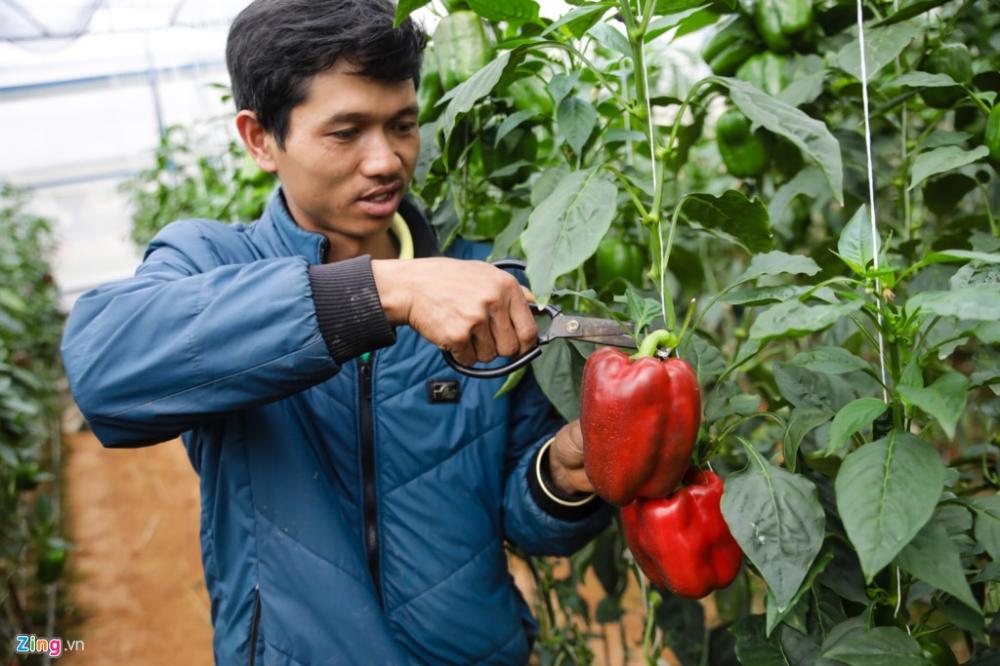 Bên cạnh dưa Pepino, vườn của anh còn có nhiều loại khác như ớt chuông, dưa leo, cà chua...